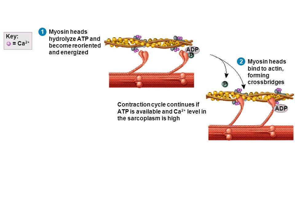 1 Myosin heads hydrolyze ATP and become reoriented and energized Myosin heads bind to actin, forming crossbridges ADP P P = Ca 2+ Key: 2 Contraction cycle continues if ATP is available and Ca 2+ level in the sarcoplasm is high