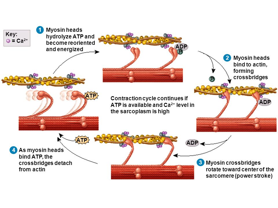 1 Myosin heads hydrolyze ATP and become reoriented and energized Myosin heads bind to actin, forming crossbridges Myosin crossbridges rotate toward center of the sarcomere (power stroke) As myosin heads bind ATP, the crossbridges detach from actin Contraction cycle continues if ATP is available and Ca 2+ level in the sarcoplasm is high ADP ATP P P = Ca 2+ Key: ATP 2 3 4
