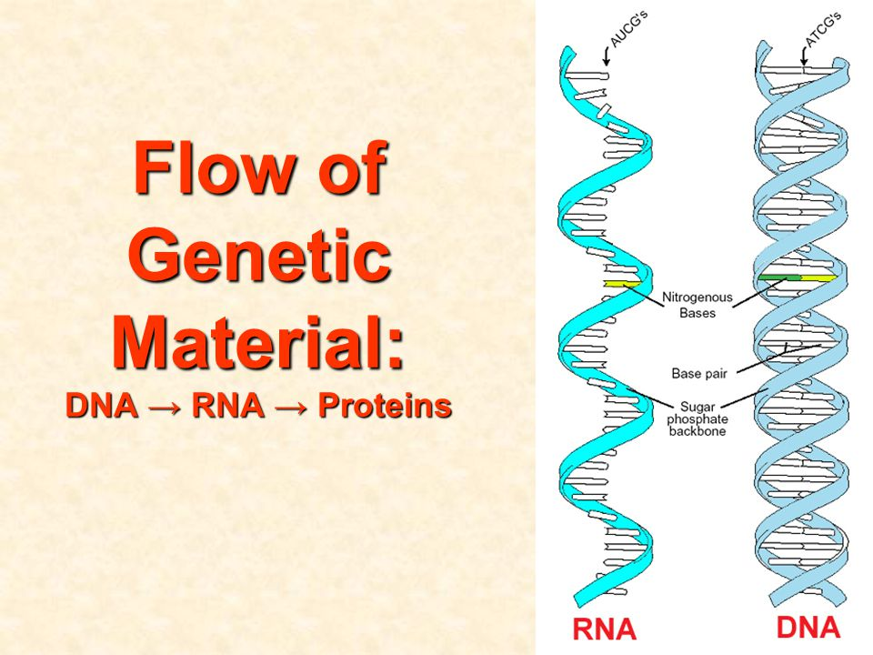 Flow of Genetic Material: DNA → RNA → Proteins