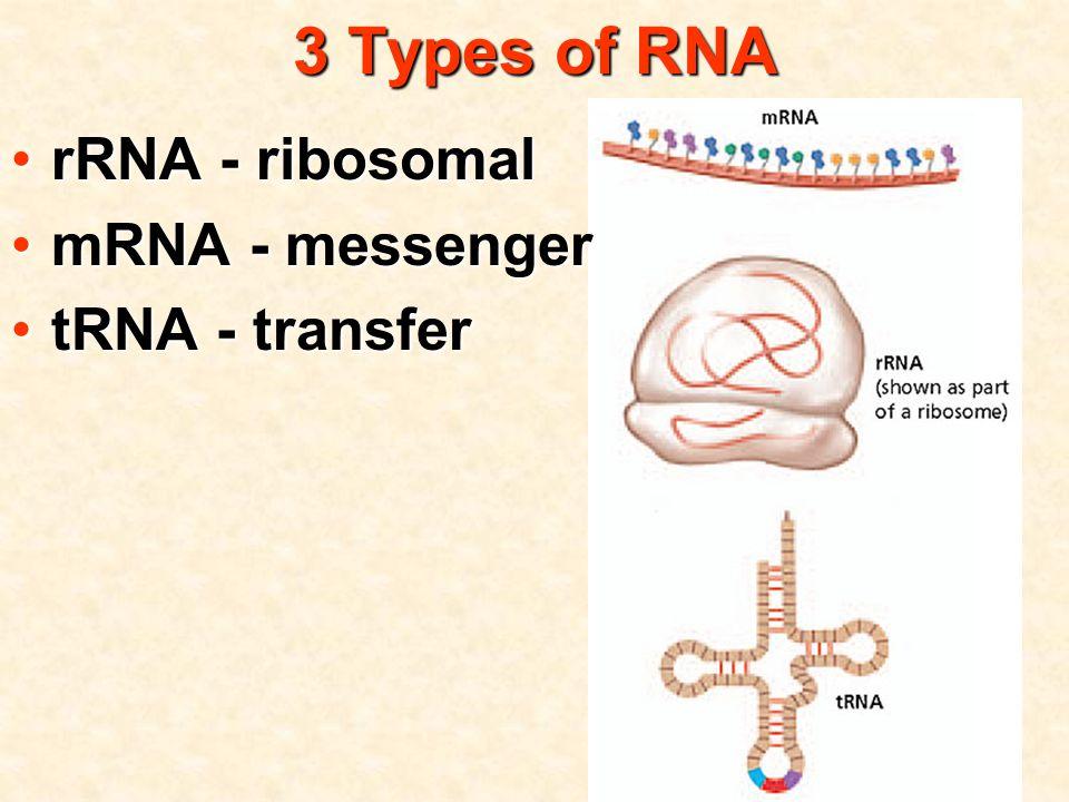 3 Types of RNA rRNA - ribosomalrRNA - ribosomal mRNA - messengermRNA - messenger tRNA - transfertRNA - transfer