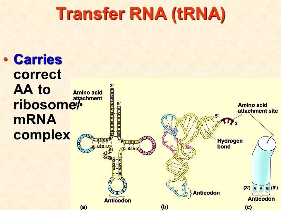 Transfer RNA (tRNA) Carries correct AA to ribosome/ mRNA complexCarries correct AA to ribosome/ mRNA complex