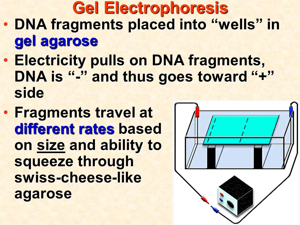 Gel Electrophoresis DNA fragments placed into wells in gel agaroseDNA fragments placed into wells in gel agarose Electricity pulls on DNA fragments, DNA is - and thus goes toward + sideElectricity pulls on DNA fragments, DNA is - and thus goes toward + side Fragments travel at different rates based on size and ability to squeeze through swiss-cheese-like agaroseFragments travel at different rates based on size and ability to squeeze through swiss-cheese-like agarose