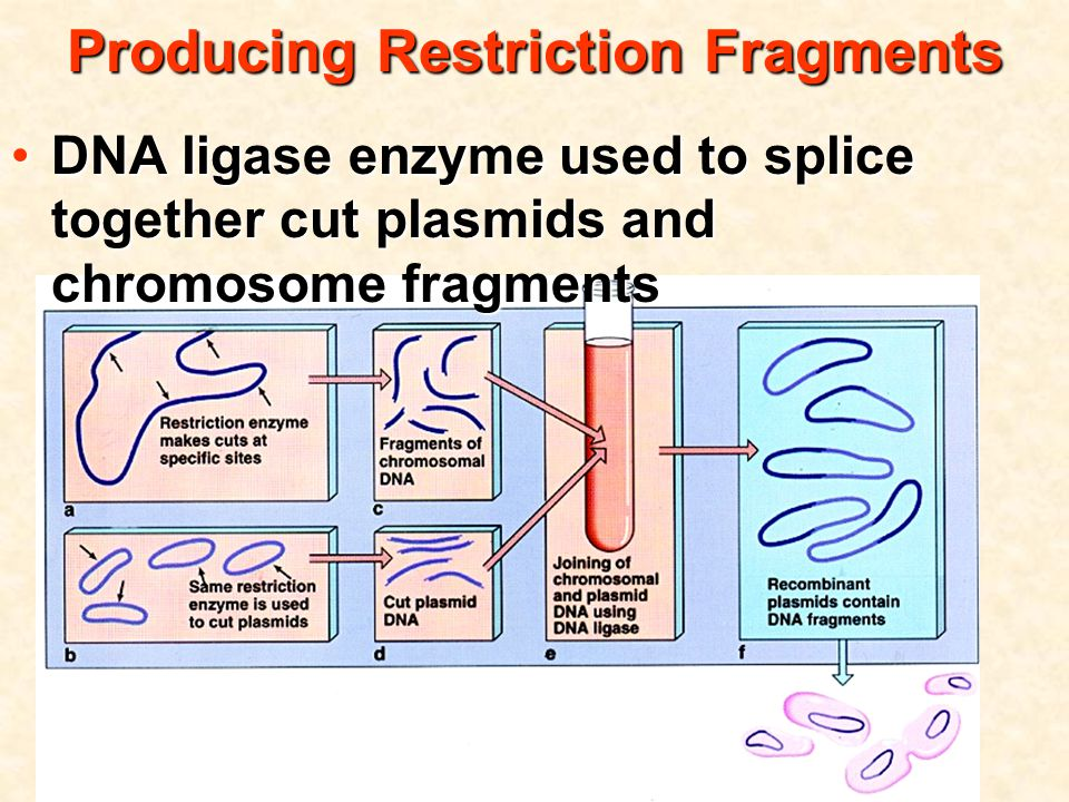 Producing Restriction Fragments DNA ligase enzyme used to splice together cut plasmids and chromosome fragmentsDNA ligase enzyme used to splice together cut plasmids and chromosome fragments