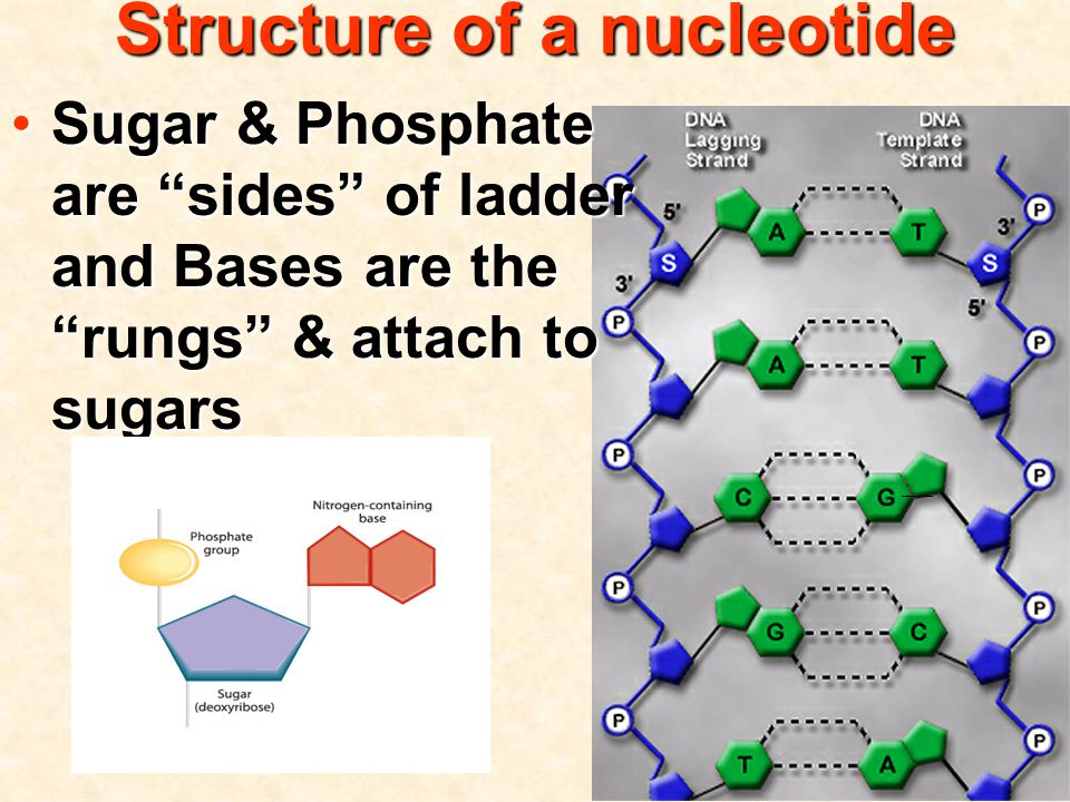 Sugar & Phosphate are sides of ladder and Bases are the rungs & attach to sugarsSugar & Phosphate are sides of ladder and Bases are the rungs & attach to sugars Structure of a nucleotide
