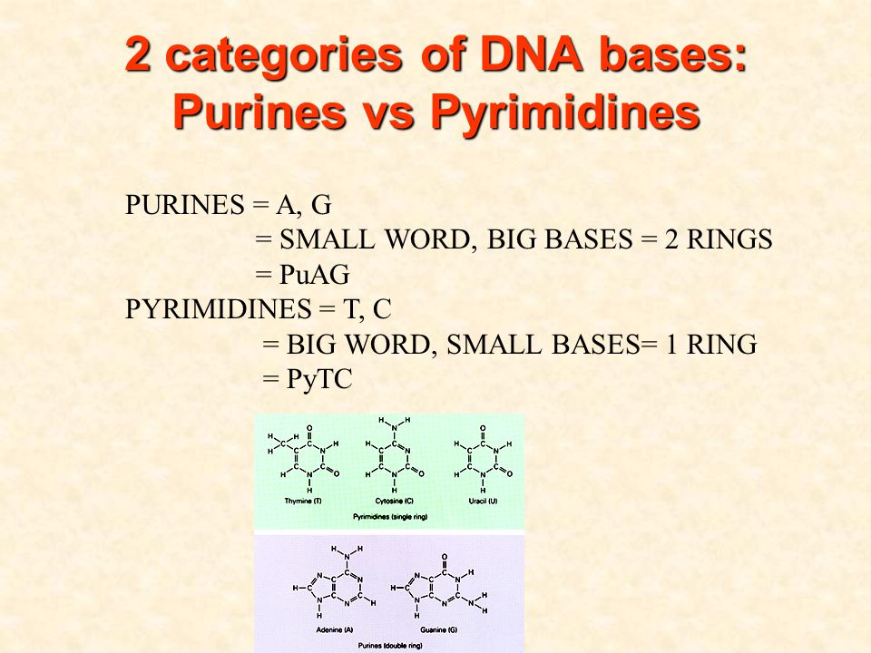 2 categories of DNA bases: Purines vs Pyrimidines 2 categories of DNA bases: Purines vs Pyrimidines PURINES = A, G = SMALL WORD, BIG BASES = 2 RINGS = PuAG PYRIMIDINES = T, C = BIG WORD, SMALL BASES= 1 RING = PyTC