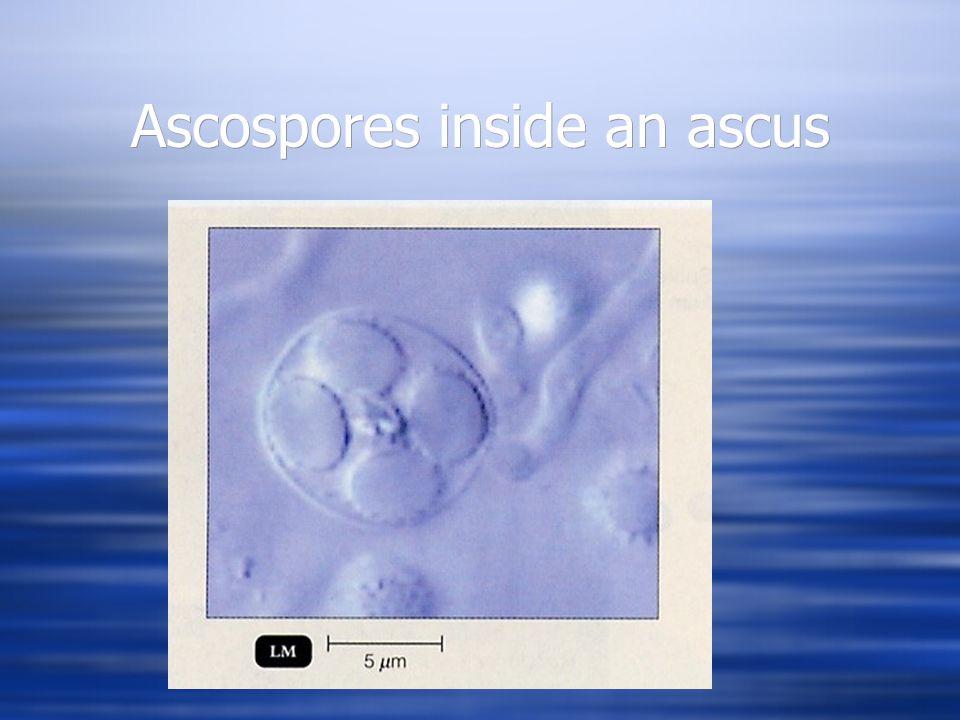 Mycology  Basidiomycota  Have septate hyphae  Have asexual conidiospores  Have sexual basidiospores.