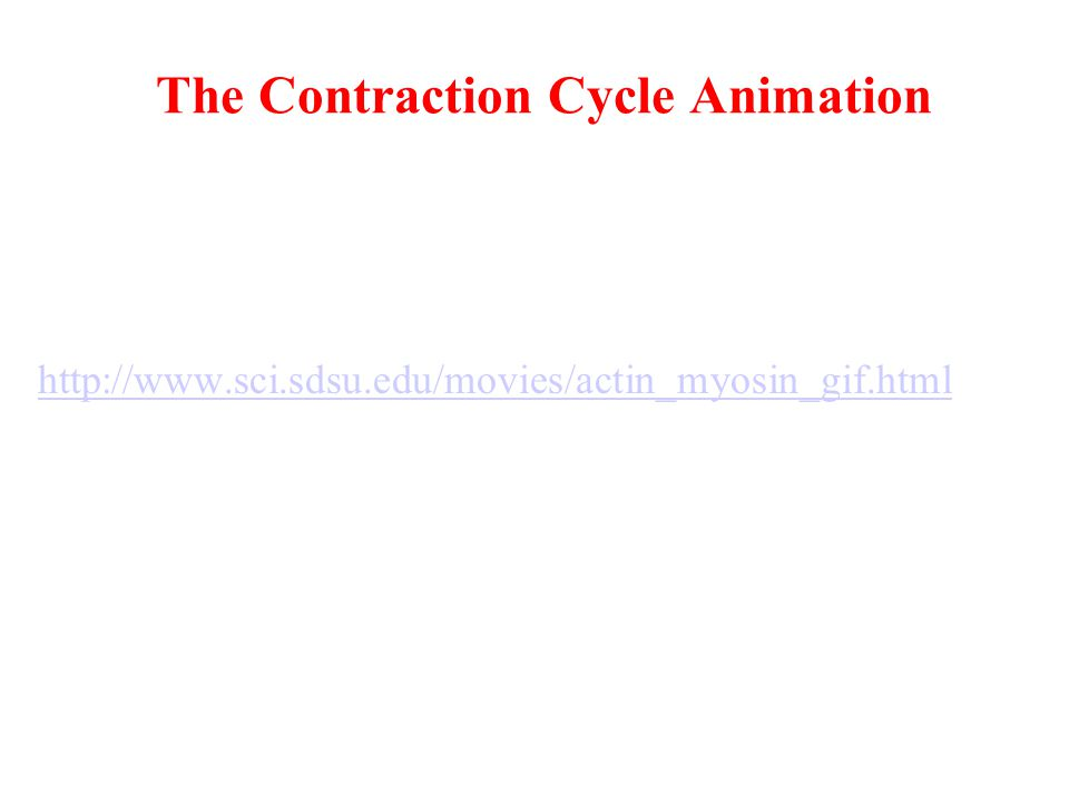 The Contraction Cycle Animation http://www.sci.sdsu.edu/movies/actin_myosin_gif.html