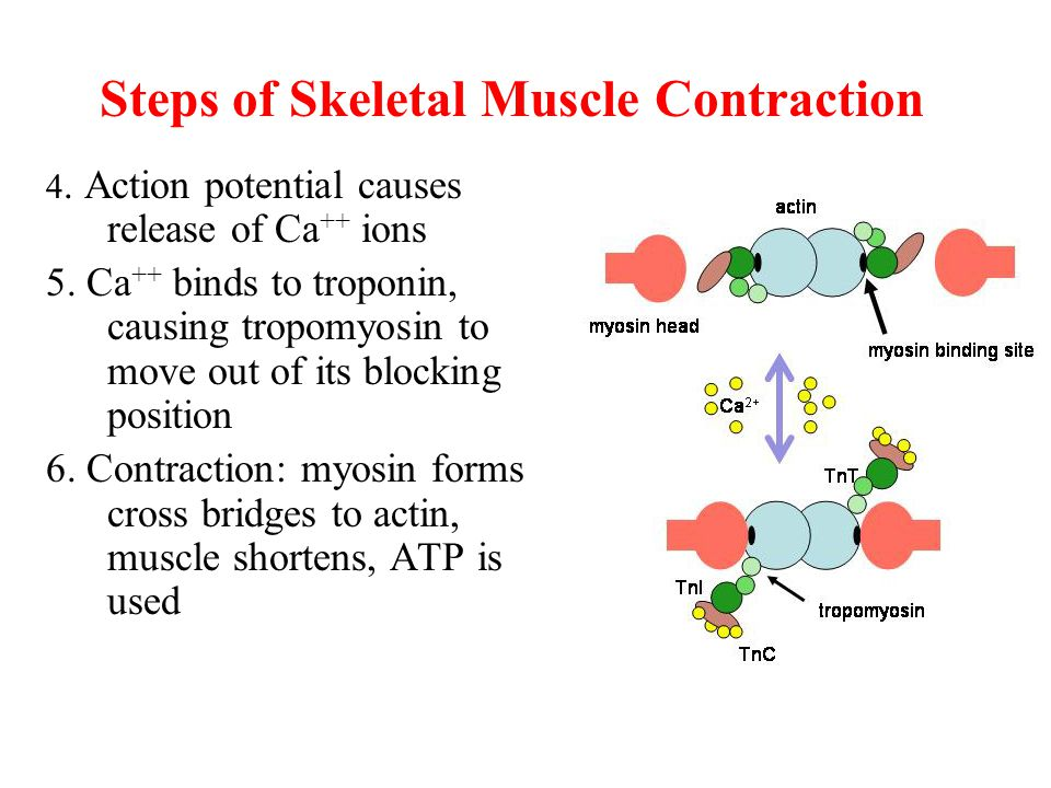 Steps of Skeletal Muscle Contraction 4. Action potential causes release of Ca ++ ions 5.