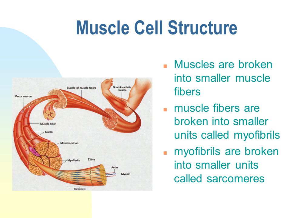 Muscle Cell Structure n Muscles are broken into smaller muscle fibers n muscle fibers are broken into smaller units called myofibrils n myofibrils are broken into smaller units called sarcomeres