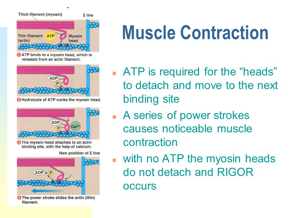 Muscle Contraction n ATP is required for the heads to detach and move to the next binding site n A series of power strokes causes noticeable muscle contraction n with no ATP the myosin heads do not detach and RIGOR occurs