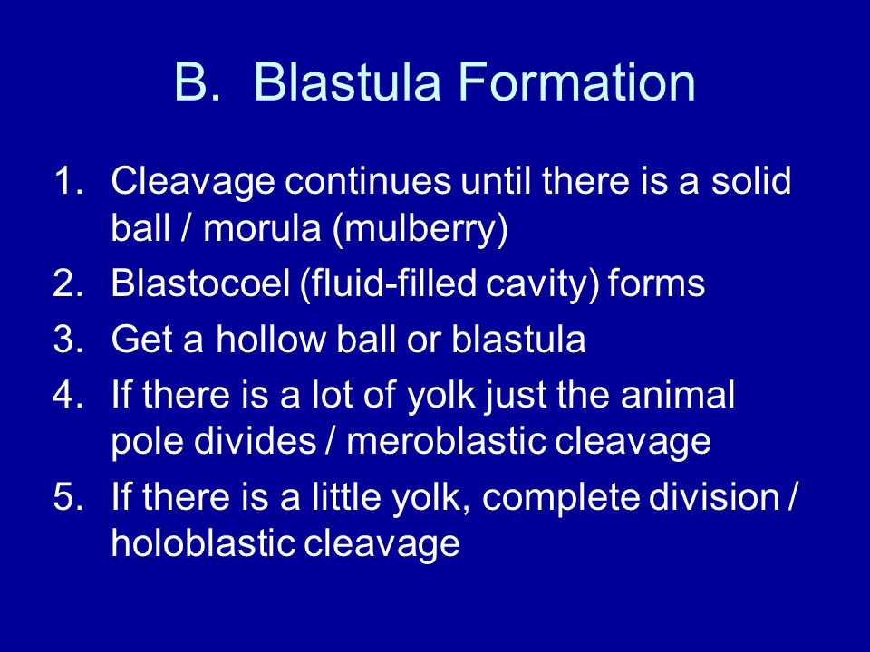 B. Blastula Formation 1.Cleavage continues until there is a solid ball / morula (mulberry) 2.Blastocoel (fluid-filled cavity) forms 3.Get a hollow bal