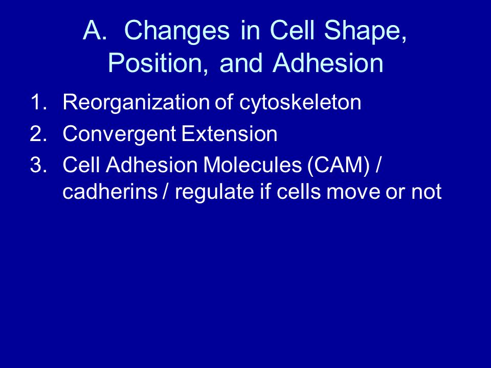 A. Changes in Cell Shape, Position, and Adhesion 1.Reorganization of cytoskeleton 2.Convergent Extension 3.Cell Adhesion Molecules (CAM) / cadherins /