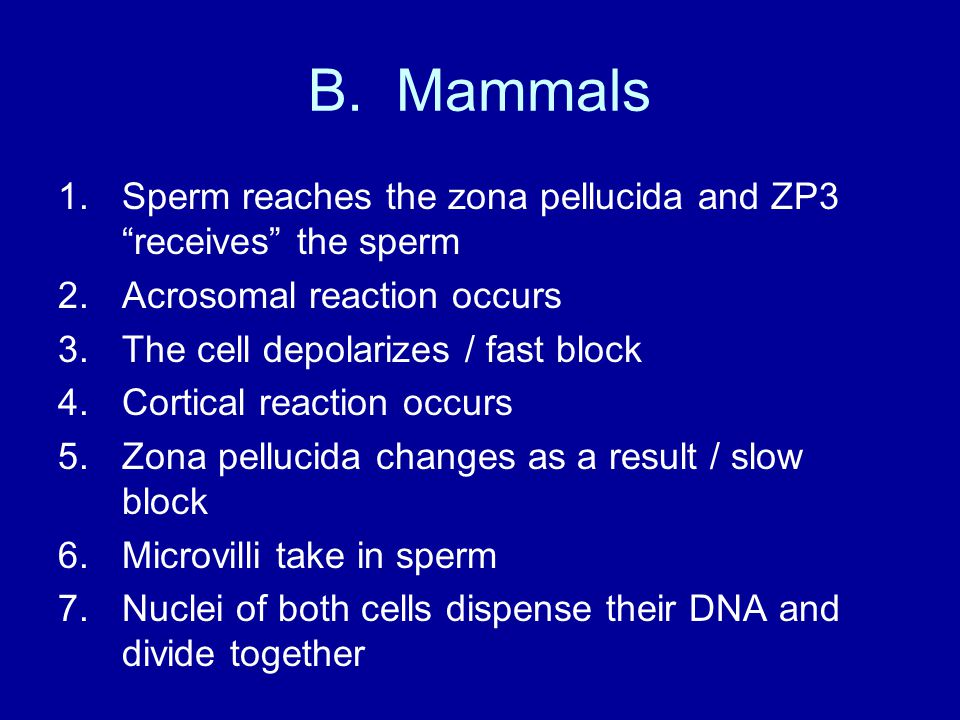 "B. Mammals 1.Sperm reaches the zona pellucida and ZP3 ""receives"" the sperm 2.Acrosomal reaction occurs 3.The cell depolarizes / fast block 4.Cortical"