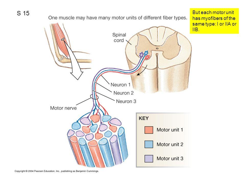 S 15 But each motor unit has myofibers of the same type: I or IIA or IIB.