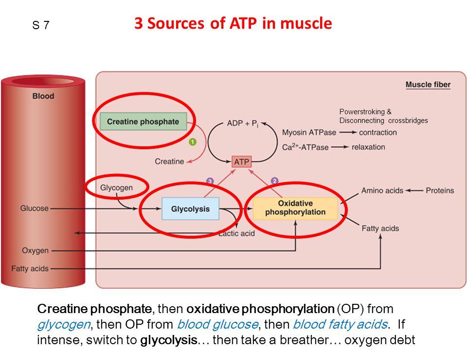 S 8 Would creatine supplementation benefit endurance runners?