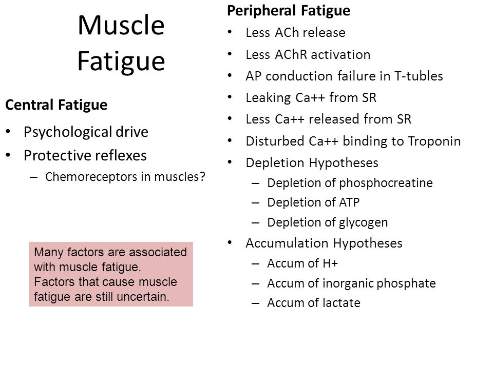 Classes of Myofibers based on Twitch Duration Each muscle fiber express only one of two different myosin isozymes: Fast twitch = rapid hydrolysis of ATP means crossbridges cycle faster Slow twitch = slower hydrolysis, isozyme catalyzes the reaction slower Myosin Isozymes not modified by athletic training but metabolic pathway enzymes are.
