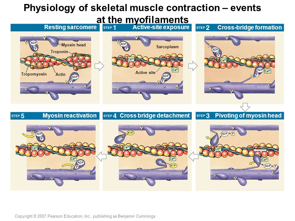 Copyright © 2007 Pearson Education, Inc., publishing as Benjamin Cummings Resting sarcomere Myosin head Myosin reactivation Active-site exposure Cross bridge detachment Cross-bridge formation Pivoting of myosin head Troponin Actin Tropomyosin ADP P + P + P + Active site Sarcoplasm Ca 2+ ADP P + + P Ca 2+ ADP + P Ca 2+ ADP + P Ca 2+ ADP + P Ca 2+ ATP Ca 2+ ADP P + + P Physiology of skeletal muscle contraction – events at the myofilaments