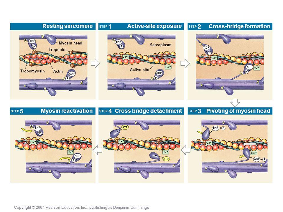 Copyright © 2007 Pearson Education, Inc., publishing as Benjamin Cummings Resting sarcomere Myosin head Myosin reactivation Active-site exposure Cross bridge detachment Cross-bridge formation Pivoting of myosin head Troponin Actin Tropomyosin ADP P + P + P + Active site Sarcoplasm Ca 2+ ADP P + + P Ca 2+ ADP + P Ca 2+ ADP + P Ca 2+ ADP + P Ca 2+ ATP Ca 2+ ADP P + + P