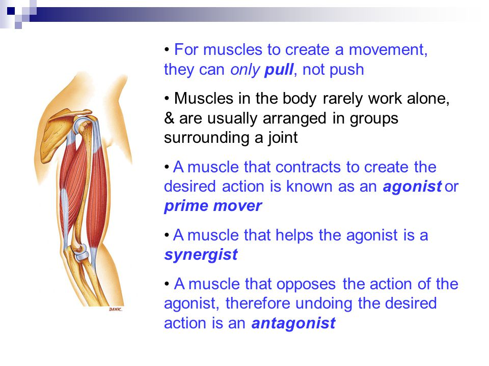 For muscles to create a movement, they can only pull, not push Muscles in the body rarely work alone, & are usually arranged in groups surrounding a joint A muscle that contracts to create the desired action is known as an agonist or prime mover A muscle that helps the agonist is a synergist A muscle that opposes the action of the agonist, therefore undoing the desired action is an antagonist