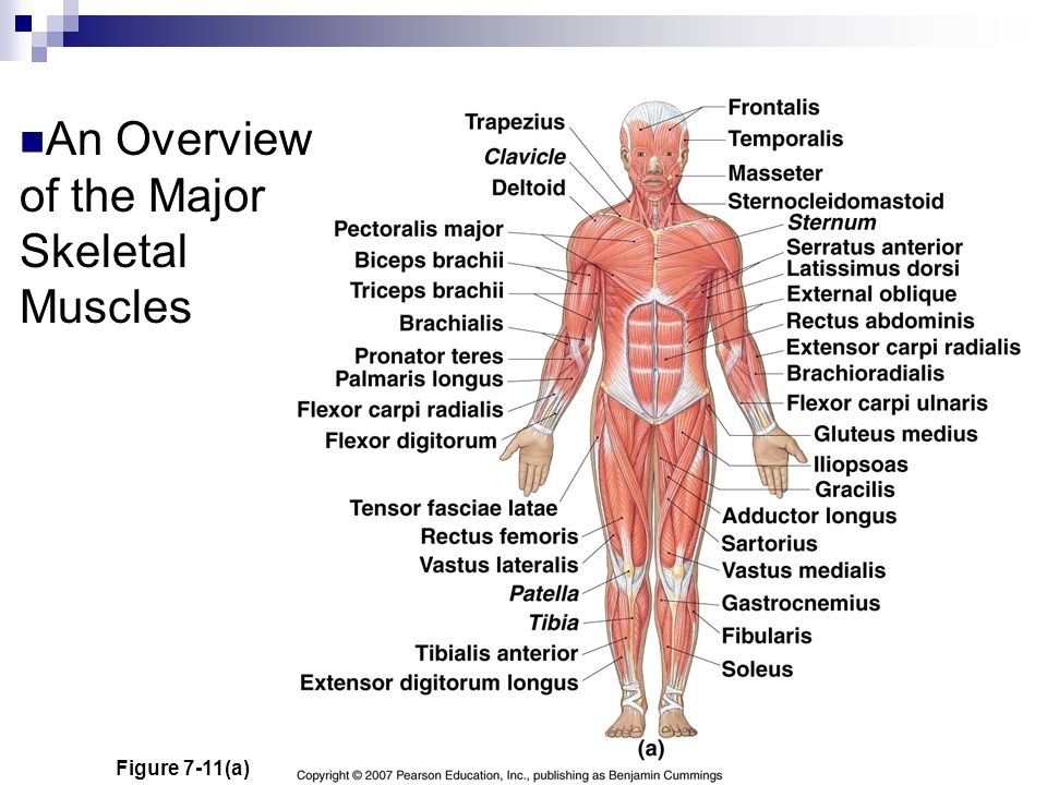 An Overview of the Major Skeletal Muscles Figure 7-11(a)