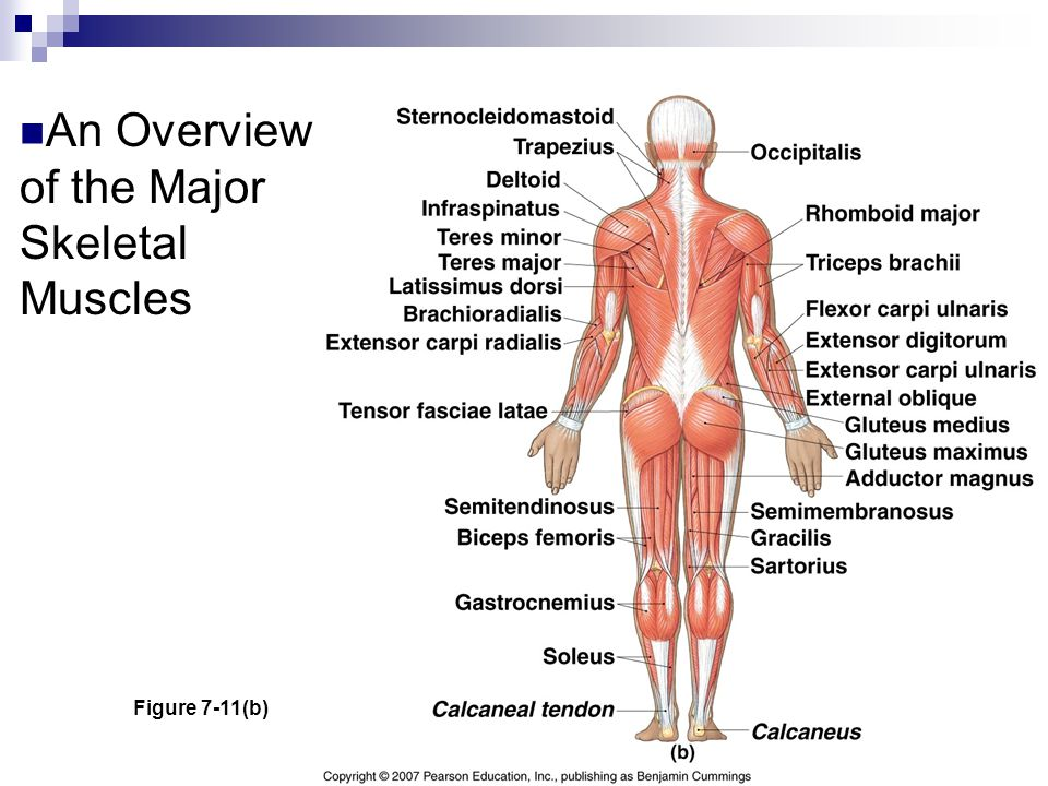 An Overview of the Major Skeletal Muscles Figure 7-11(b)