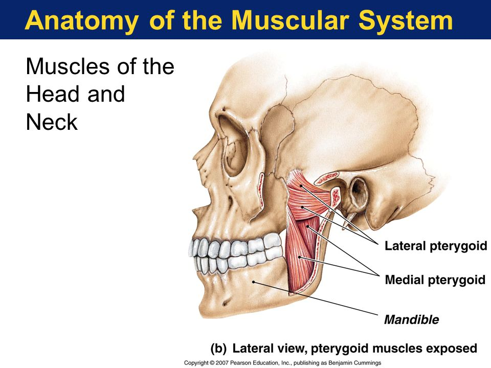 Anatomy of the Muscular System Muscles of the Head and Neck