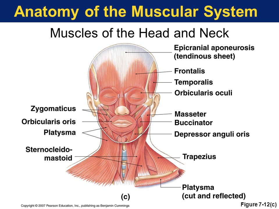 Anatomy of the Muscular System Muscles of the Head and Neck Figure 7-12(c)