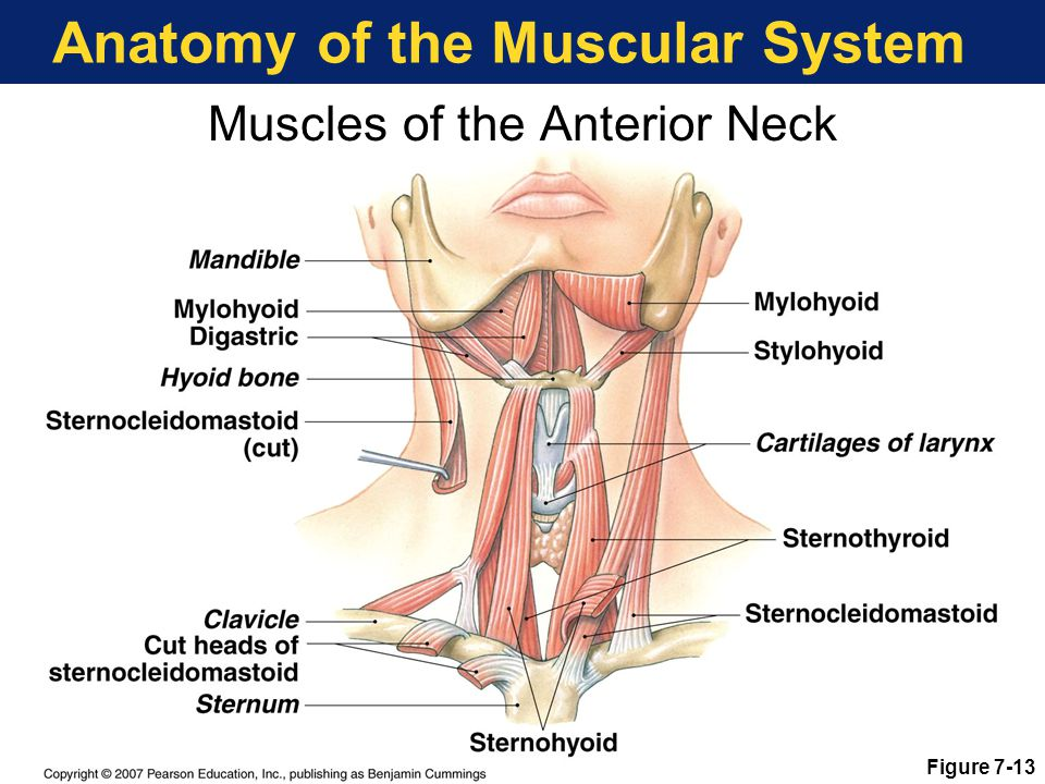 Anatomy of the Muscular System Muscles of the Anterior Neck Figure 7-13