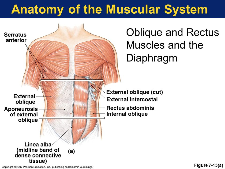 Anatomy of the Muscular System Figure 7-15(a) Oblique and Rectus Muscles and the Diaphragm