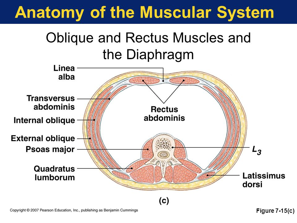 Anatomy of the Muscular System Oblique and Rectus Muscles and the Diaphragm Figure 7-15(c)