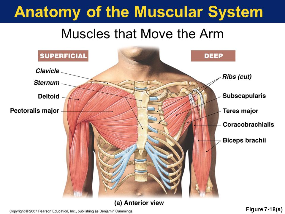 Anatomy of the Muscular System Muscles that Move the Arm Figure 7-18(a)