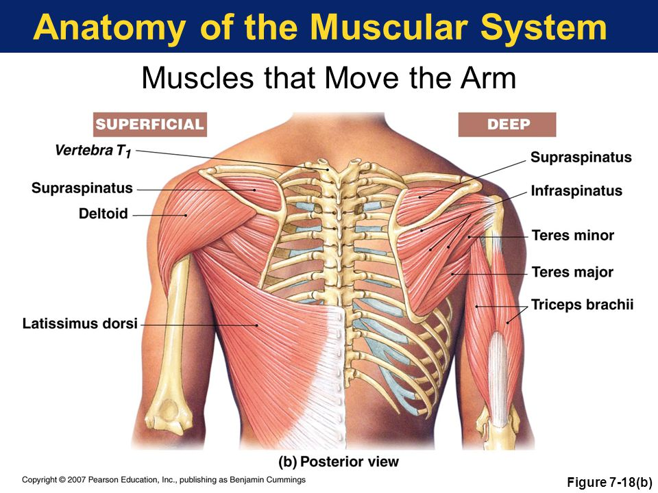 Anatomy of the Muscular System Muscles that Move the Arm Figure 7-18(b)
