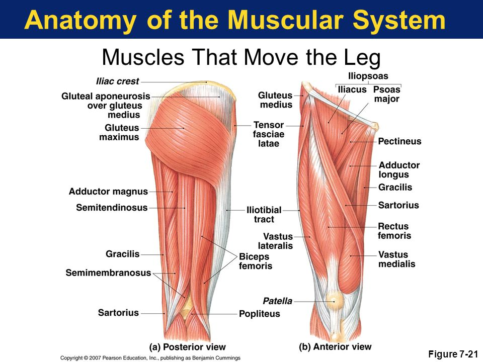 Anatomy of the Muscular System Figure 7-21 Muscles That Move the Leg