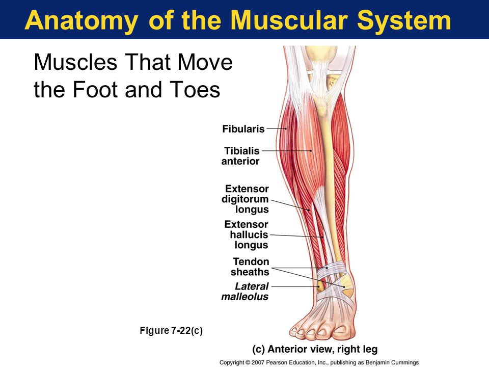 Anatomy of the Muscular System Figure 7-22(c) Muscles That Move the Foot and Toes