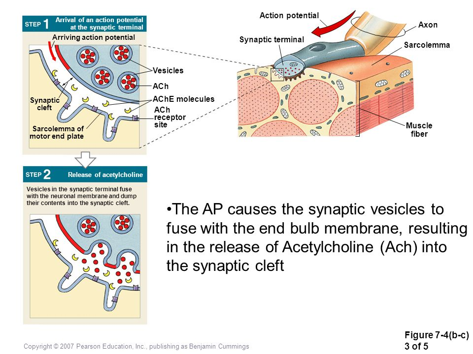 Figure 7-4(b-c) 3 of 5 Copyright © 2007 Pearson Education, Inc., publishing as Benjamin Cummings Synaptic cleft Vesicles in the synaptic terminal fuse with the neuronal membrane and dump their contents into the synaptic cleft.
