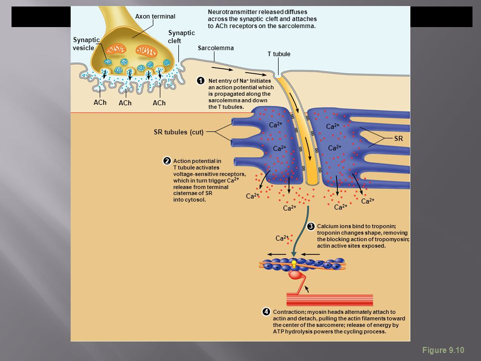 Figure 9.10 Net entry of Na + Initiates an action potential which is propagated along the sarcolemma and down the T tubules. T tubule Sarcolemma SR tu