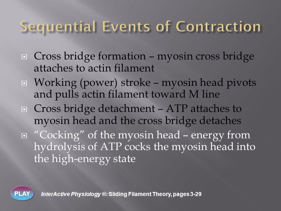  Cross bridge formation – myosin cross bridge attaches to actin filament  Working (power) stroke – myosin head pivots and pulls actin filament towar