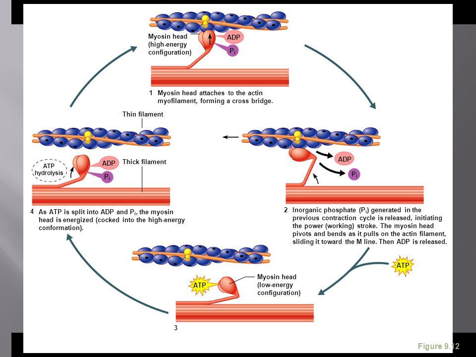 ATP ADP Myosin head (high-energy configuration) Myosin head attaches to the actin myofilament, forming a cross bridge. Thin filament ADP ATP hydrolysi