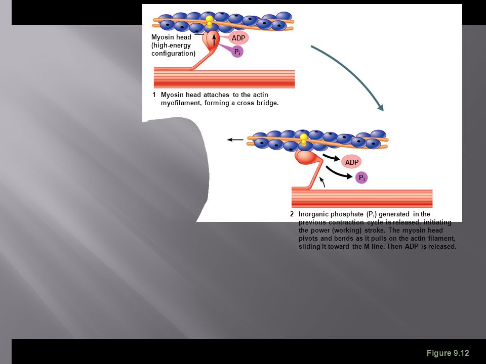 ADP Myosin head (high-energy configuration) Myosin head attaches to the actin myofilament, forming a cross bridge. ADP Inorganic phosphate (P i ) gene