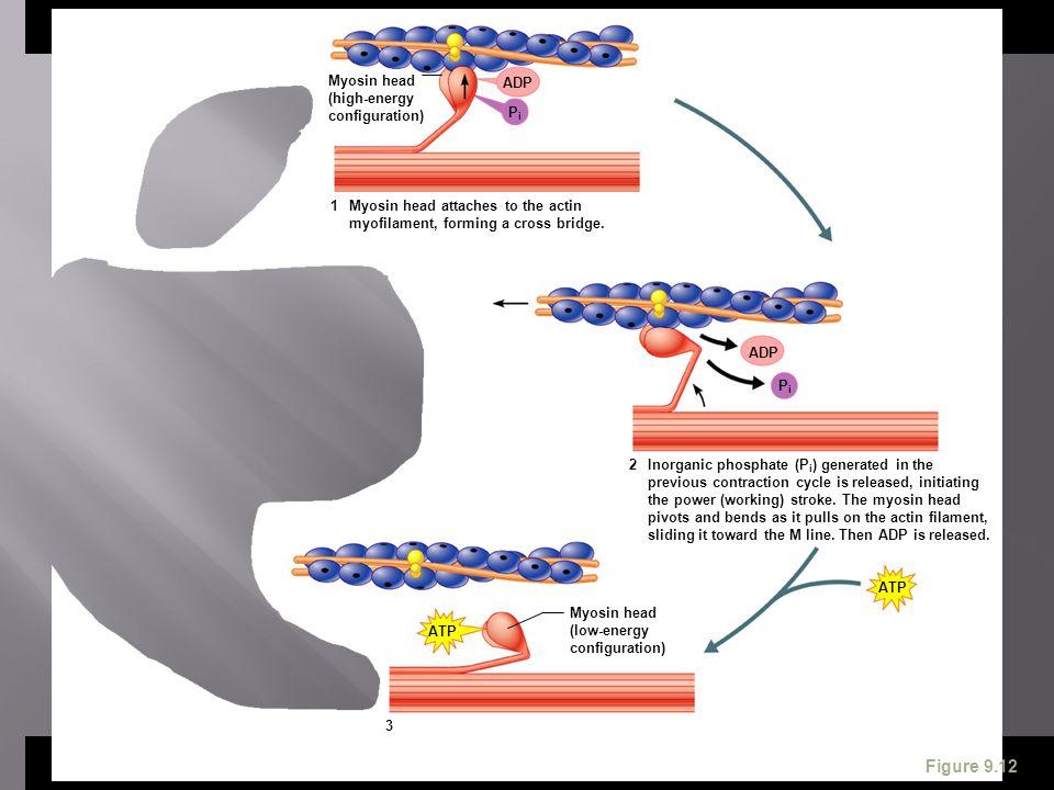 ATP ADP Myosin head (high-energy configuration) Myosin head attaches to the actin myofilament, forming a cross bridge. ADP Inorganic phosphate (P i )