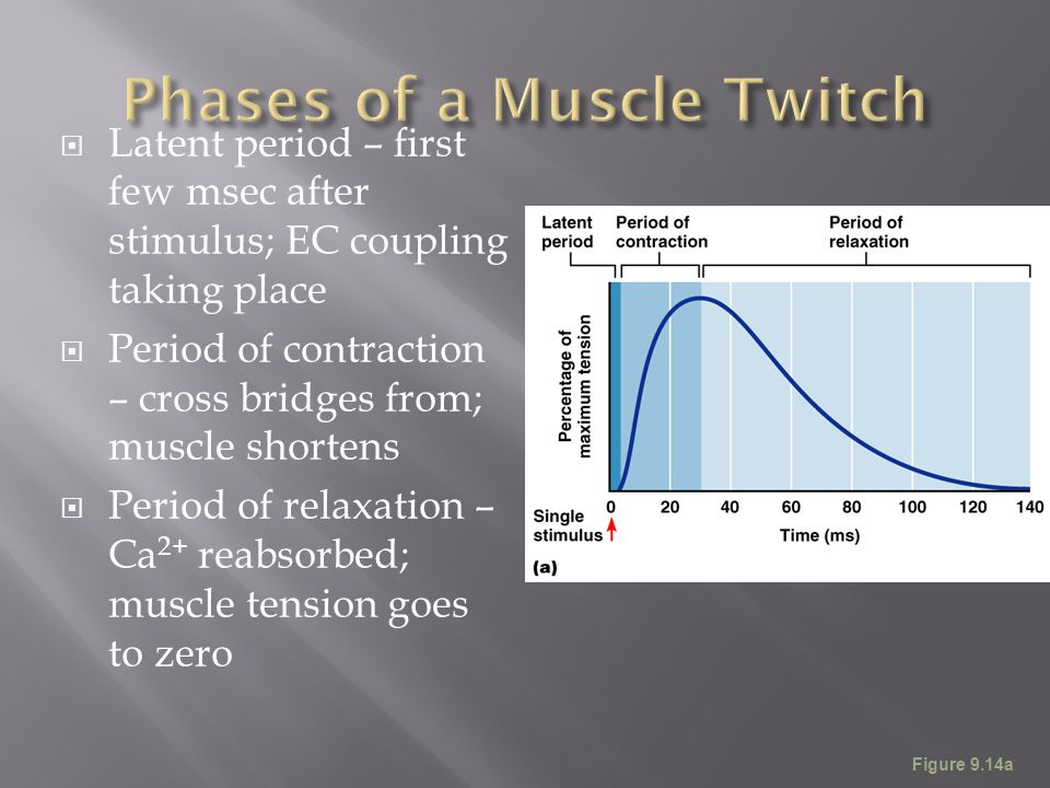  Latent period – first few msec after stimulus; EC coupling taking place  Period of contraction – cross bridges from; muscle shortens  Period of re