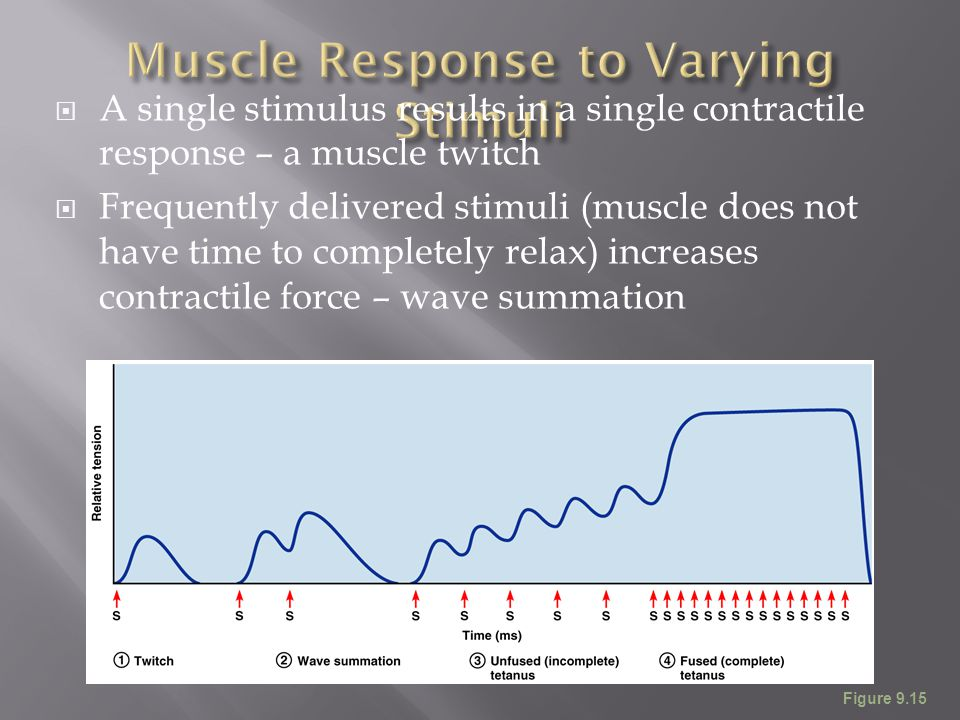  A single stimulus results in a single contractile response – a muscle twitch  Frequently delivered stimuli (muscle does not have time to completely