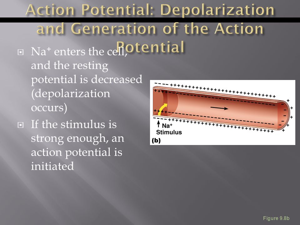  Na + enters the cell, and the resting potential is decreased (depolarization occurs)  If the stimulus is strong enough, an action potential is init