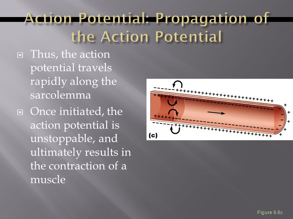  Thus, the action potential travels rapidly along the sarcolemma  Once initiated, the action potential is unstoppable, and ultimately results in the