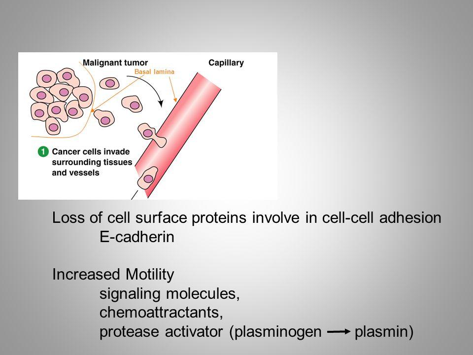 Loss of cell surface proteins involve in cell-cell adhesion E-cadherin Increased Motility signaling molecules, chemoattractants, protease activator (plasminogen plasmin) Basal lamina