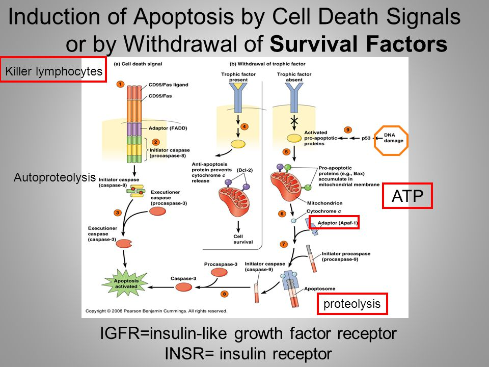 Induction of Apoptosis by Cell Death Signals or by Withdrawal of Survival Factors IGFR=insulin-like growth factor receptor INSR= insulin receptor Autoproteolysis ATP proteolysis Killer lymphocytes