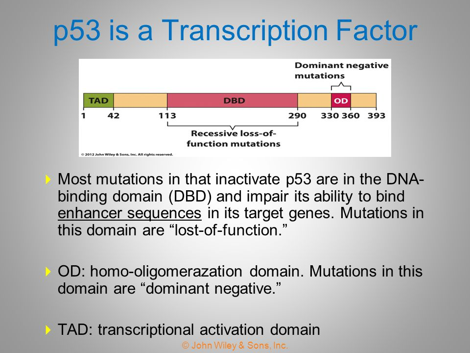 p53 is a Transcription Factor  Most mutations in that inactivate p53 are in the DNA- binding domain (DBD) and impair its ability to bind enhancer seq