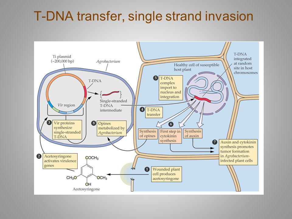 T-DNA transfer, single strand invasion