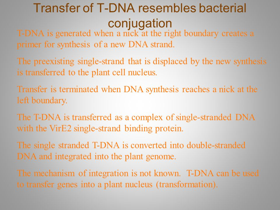 Transfer of T-DNA resembles bacterial conjugation T-DNA is generated when a nick at the right boundary creates a primer for synthesis of a new DNA str