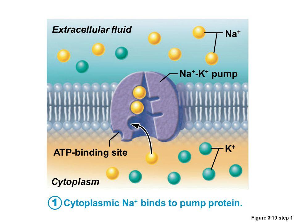 Figure 3.10 step 1 Extracellular fluid Cytoplasmic Na + binds to pump protein. Na + Na + -K + pump ATP-binding site Cytoplasm K+K+ 1